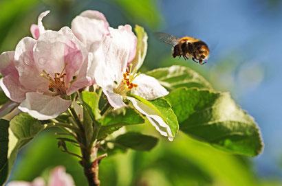 Hummel an einer Apfelblüte