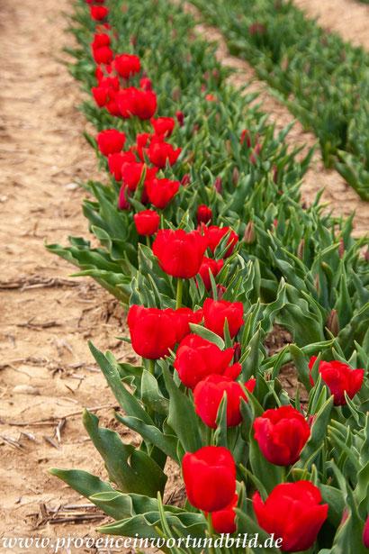 Bild: Tulpenfelder nahe der Ortschaft Lurs
