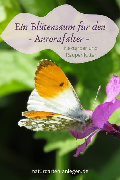 Anthocharis cardamines Aurorafalter schützen