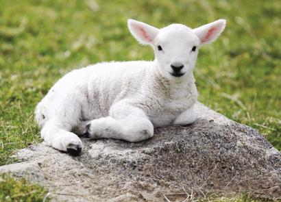 """La couleur blanche représente la sainteté et à la pureté extrême de Jésus-Christ, l'Agneau de Dieu sans tache et sans défaut. 1 Pierre 1 :19 : « vous avez été délivrés par le sang précieux du Christ, sacrifié comme un agneau sans défaut et sans tache""""."""