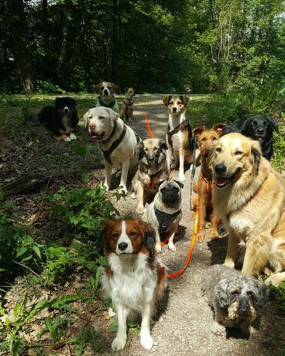 Viele Hunde im Gassi-Service