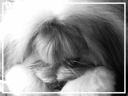 lhasa apso dog breeder