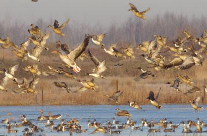 les oiseaux de la baie de Somme