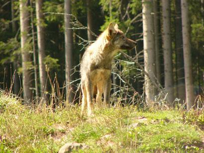 Bei unseren hohen Schalenwildbeständen hat der Wolf beste Lebensbedingungen.