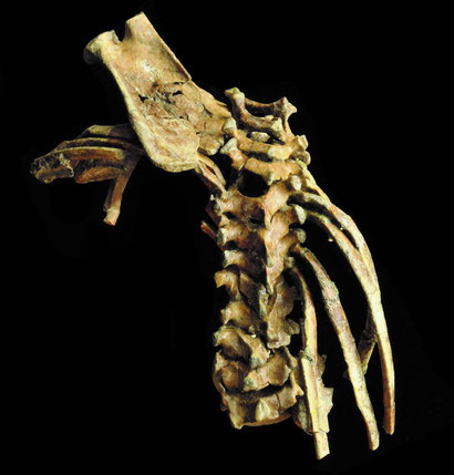 Selam, possesses the most complete spinal column of any early fossil human relative, and her vertebral bones, neck and rib cage are mainly intact.  Credit: Zeray Alemseged, University of Chicago.