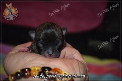 naissance de chiot chihuahua