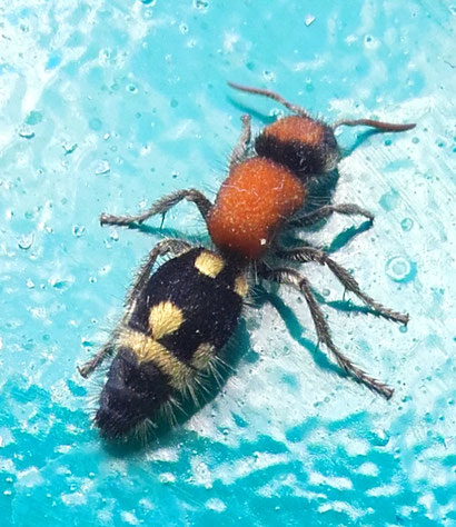 Ronisia brutia, auch Ameisenwespe, Bienenwespe, Bienenameise, oder eben Spider wesp genannt.