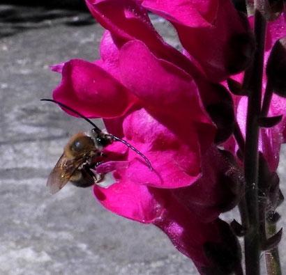 Eucera (Wild bees)