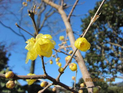 蝋梅の花を発見