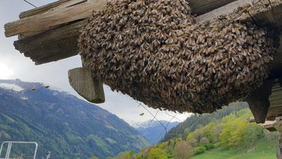Eine Auswirkung der zur Untat gezwungenen Bienen: Erhöhter Schwarmtrieb