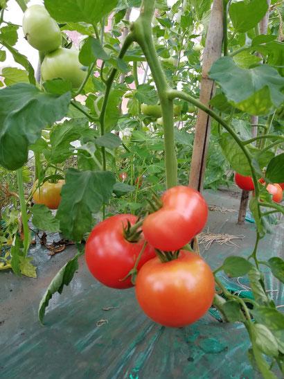 廣田農園の無農薬大玉トマト