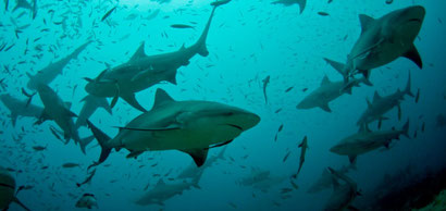 Bull sharks at Pinnacles, just off White Pearl Resorts, Mozambique. Dante Harker