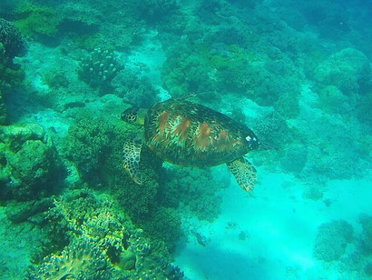 Turtle on Apo Reef in the Philippines - Dante Harker