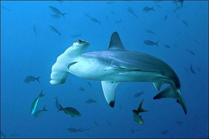Hammerheads at Pinnacles, just off White Pearl Resorts Mozambique. Dante Harker