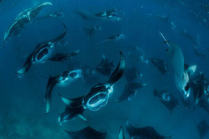 Amazing Manta Rays at Hanifaru Bay in the Maldives. Dante Harker