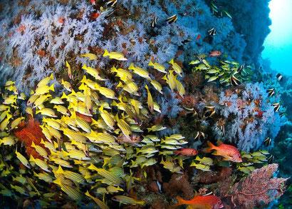 Despite damage from El Nino, coral reefs are still gorgeous around Dharavandhoo, the Maldives. Dante Harker