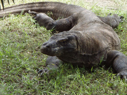 Huge Komodo Dragon