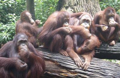 Orang-u-tans in Singapore Zoo - Dante Harker
