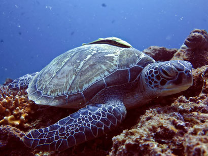 The Gilis are known for their turtles - so easy to see there