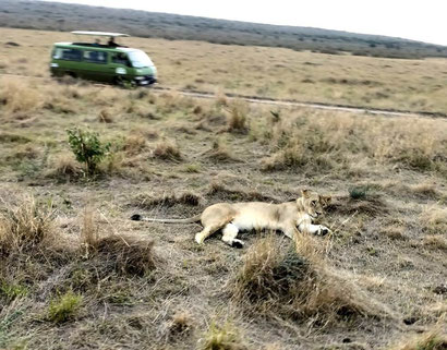 Lioness in the Maasai Mara Reserve with Karibu Tours, Kenya. Dante Harker