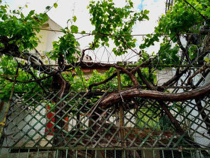 Grape vines in Athens' backstreets