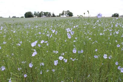 Les fleurs de lin sont d'une jolie couleur bleu-violet. Dans le fond de la photo, on aperçoit les rangées d'arbres typiques d'une délimitation de clos-masure, la ferme caractéristique du pays de Caux.