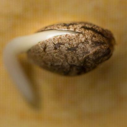 Cannabis Samen Keimung beschleunigen