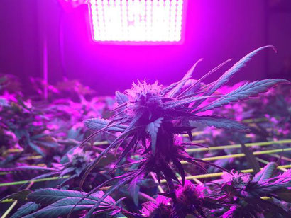 LED Grow Lampe mit Cannabis