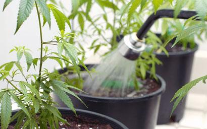 Hanf bewässern - gießen