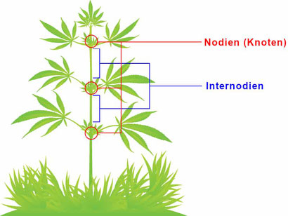 Cannabis Internodien