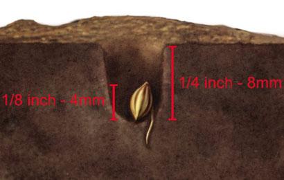 Gekeimte Samen in Erde geben