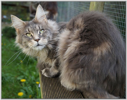 Maine Coon in black classic tabby