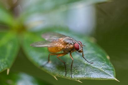 Fliege auf Berberitze (verbleibender Stack aus 16 Aufnahmen, Z6 + Sigma 105mm/2.8 + Raynox 250, f11 , 1/5s, ISO200)