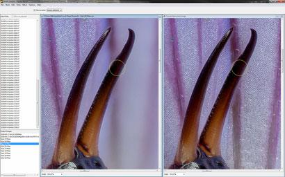 Zerene: Die Retusche (rechts) zeigt den bereits korrigierten Bereich der hinteren Zange, allerdings noch mit unsauberen Kanten.
