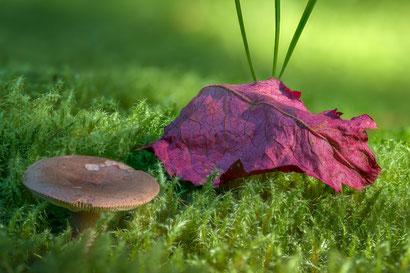Pilz mit Herbstlaub (Fokusbracketing aus 109 Einzelbildern, Z6 + Sigma 105mm/2.8, f5.6, 1/125s, ISO100)
