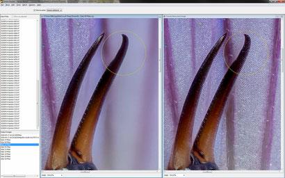 Zerene: Die Retusche (rechts) zeigt durchsichtige Körperteile (hier die Zangen eines Ohrenkneifers), links bereits der entsprechende Teil-Stack mit korrekter hinterer Zange.