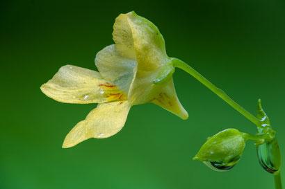 Blüte des Kleinen Springkrauts (Fokusbracketing aus 134 Einzelaufnahmen, Z6 + Sigma 105mm/2.8, f5.6, 1/200s, ISO800)