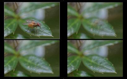 LR: 4 Bilder eines Stacks. Auf dem zweiten Bild ist die Fliege noch zu erahnen, bevor sie auf dem dritten Bild komplett verschwunden ist, und nur das nachschwingende Berberitzenblatt übrigbleibt.