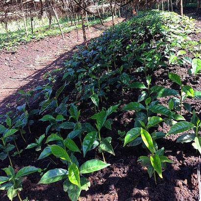nurucoffee: Kaffee Setzlinge in Äthiopien, Bio Kaffee