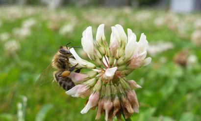 Auch als Kärntner Biene oder Krainer Biene genannt, ist eine Unterart der westlichen Honigbiene. Die Heimat der Carnica war südlich der Alpen, Istrien und der Balkan.