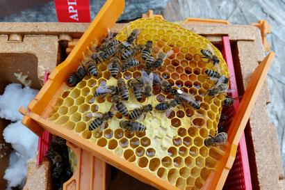 Gerade in Kärnten, dem Ursprungsland unserer Carnica Biene, wird besonderer Wert auf die Reinrassigkeit unserer imkerfreundlichen Bienenrasse gelegt.