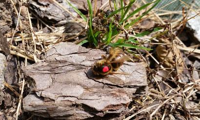 Für 1 Kg Honig haben sie bis dahin im Schnitt ca.150.000 Flugkilometer zurückgelegt, Millionen Blütenbesuche absolviert, Unzähligen Pollen gesammelt und darüber hinaus einen für uns Menschen nicht abschätzbaren Nutzen für unser Natur erfüllt.