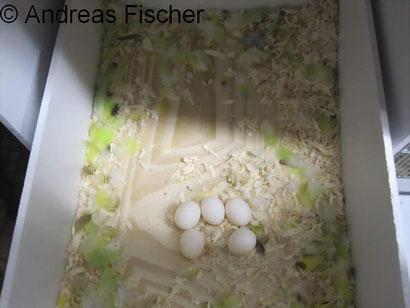 Gelege mit 5 Eiern