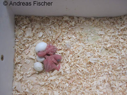 Babyvögel im Alter von 1 bis 3 Tagen