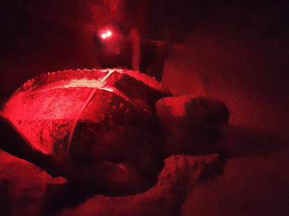Die Lederschildkröte wird vermessen.