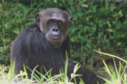 Geretteter Schimpanse in Ol Pejeta, Kenia