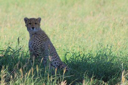 Gepard in der Serengeti, Tansania