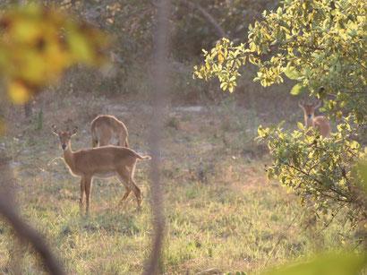 Kob-Antilope