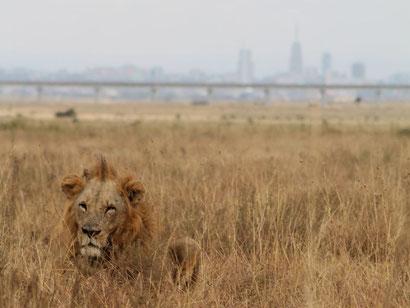 Löwe vor der Skyline von Nairobi im Nairobi Nationalpark
