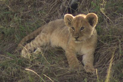 Löwen-Baby in der Masai Mara, Kenia